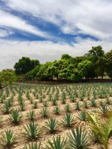 Beautiful blue agave fields of Tequila, Mexico.