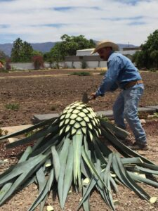 Worker cutting up a blue agave plan for production.